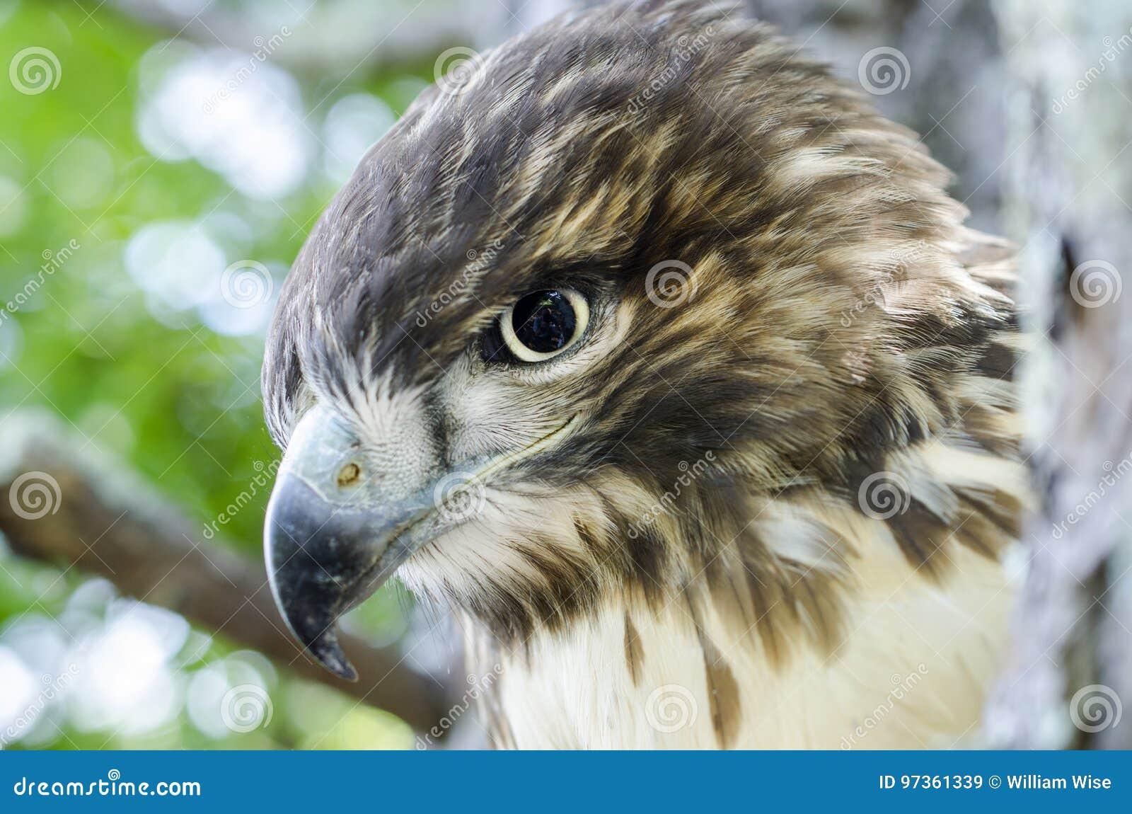 o pássaro de rapina vermelho juvenil atou o perfil do falcão imagem