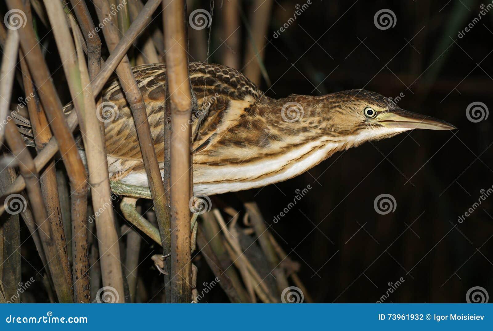 O pássaro nos juncos