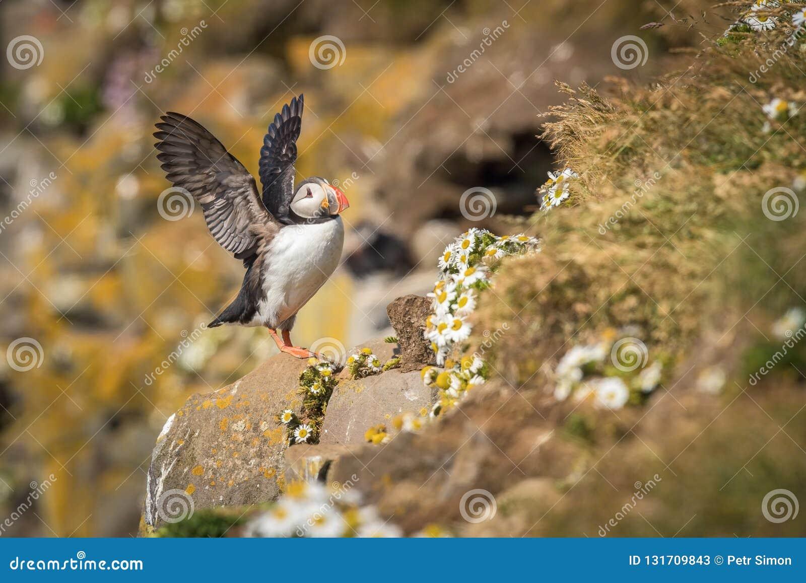 O papagaio-do-mar atlântico, arctica do Fratercula está sentando-se no clouse da grama muito a seu furo do aninhamento É habitat