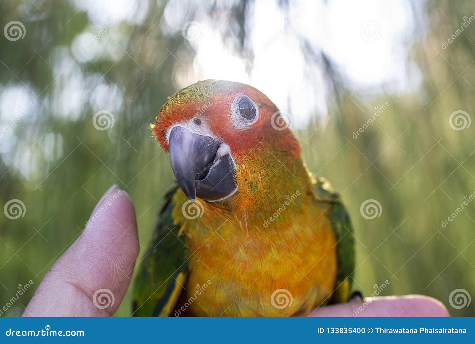 O papagaio está feliz no dedo no pinheiro Periquito sobre
