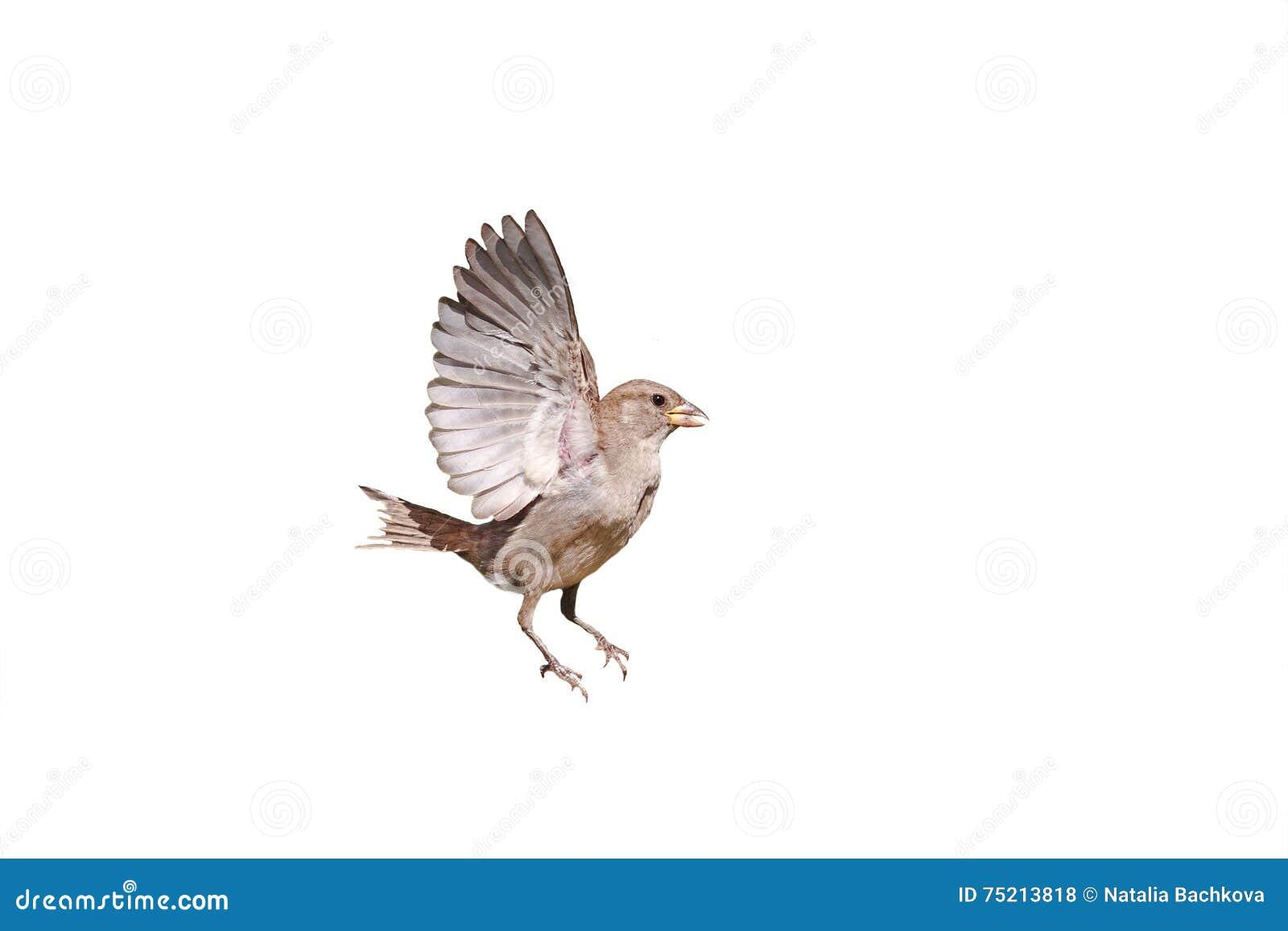 O pardal bate suas asas no fundo isolado branco