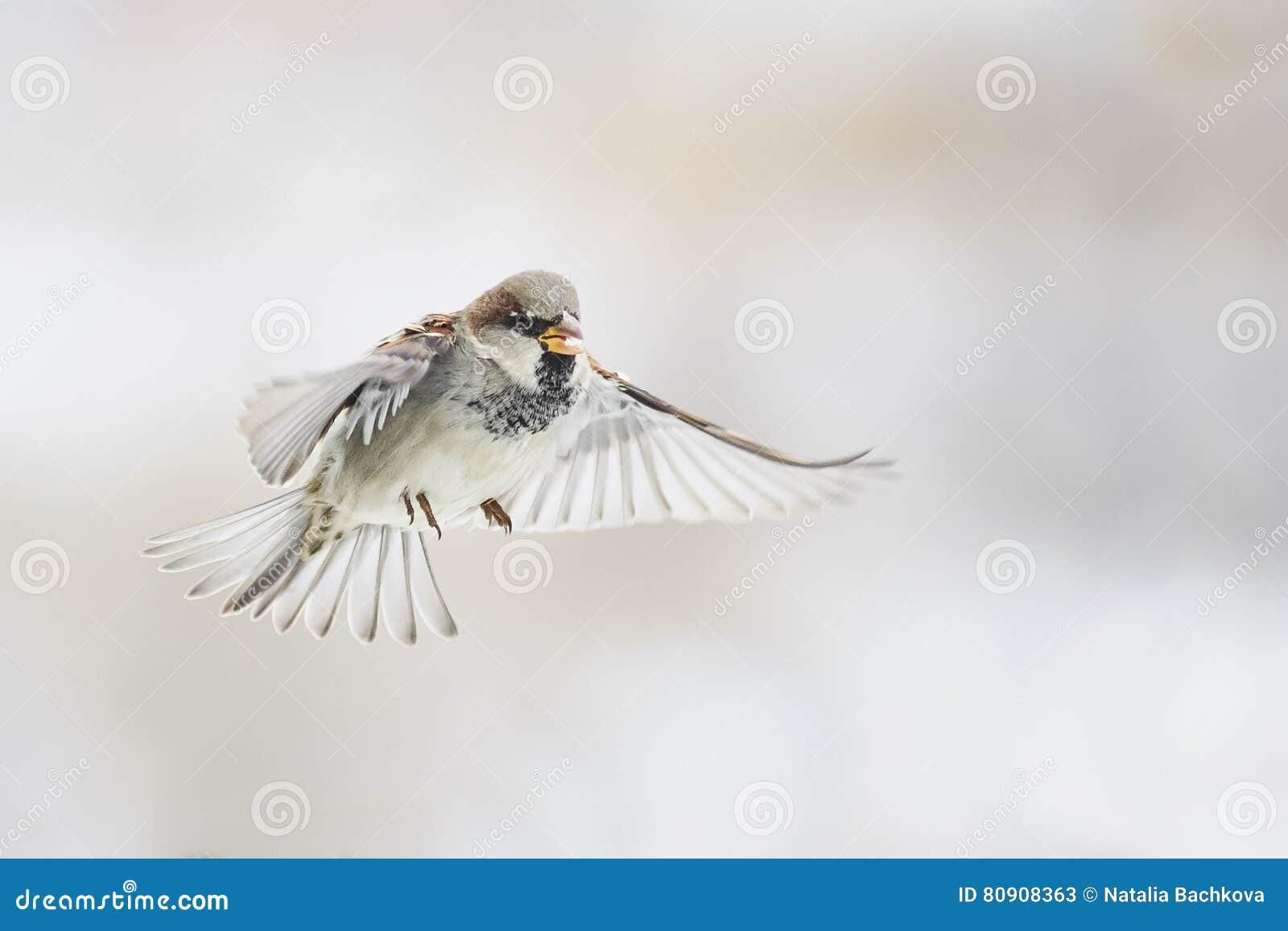 O pardal do pássaro está voando em linha reta no céu