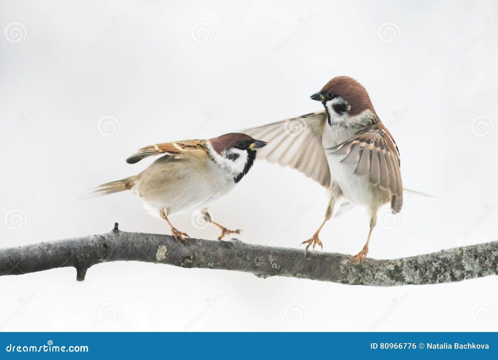 O pardal dos pássaros discute no ramo que bate as asas