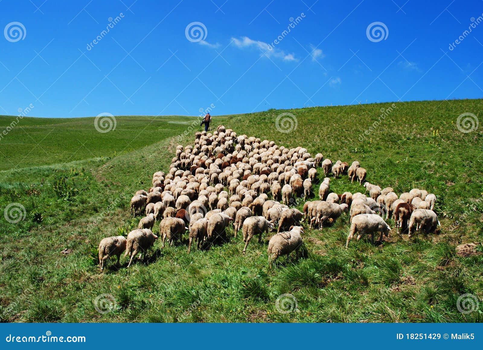 O pastor conduz seus carneiros