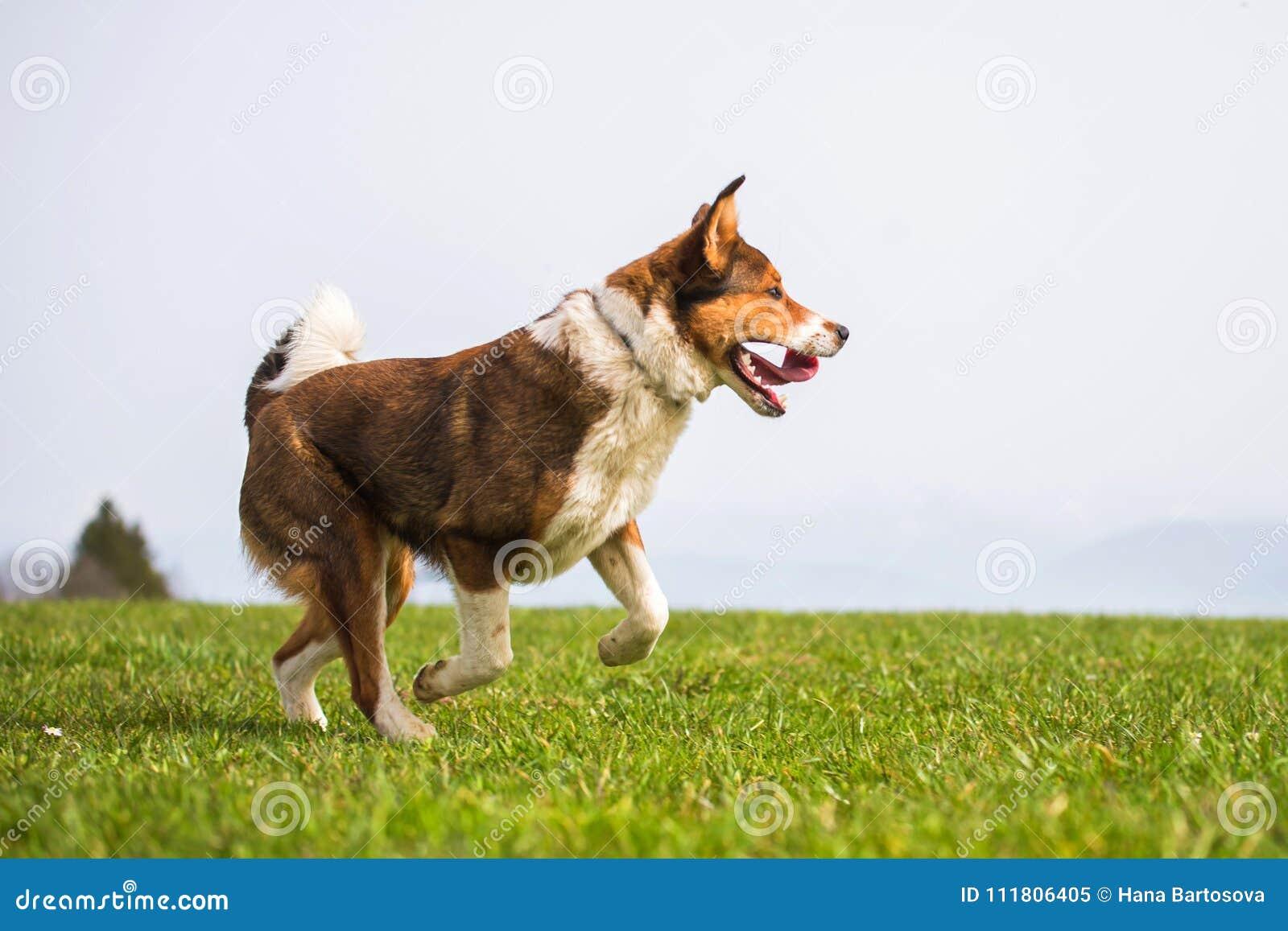 O pastor do híbrido de Brown está correndo abaixo do prado da montanha