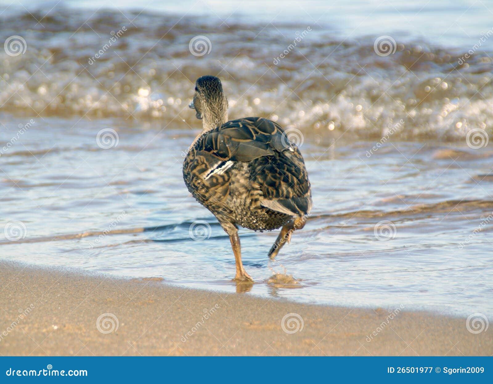 O pato que funciona para molhar