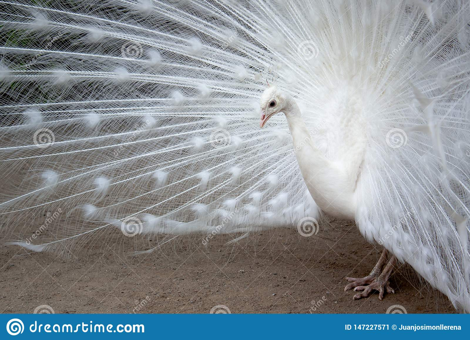 O pavão branco com as penas estendeu