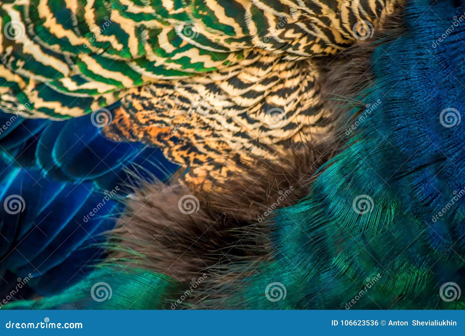 O pavão colorido empluma-se a textura do fundo do close-up