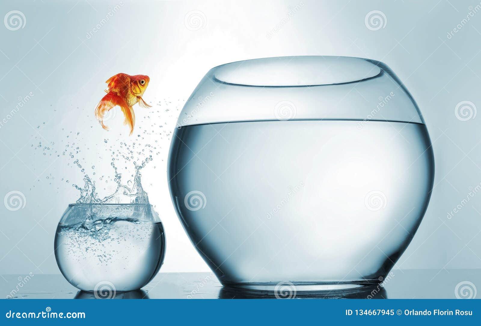 O peixe dourado que salta em uma bacia mais grande - conceito da aspiração e da realização