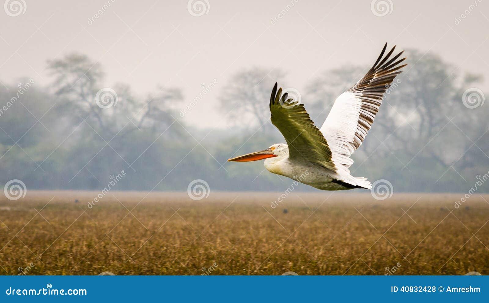 O pelicano do voo