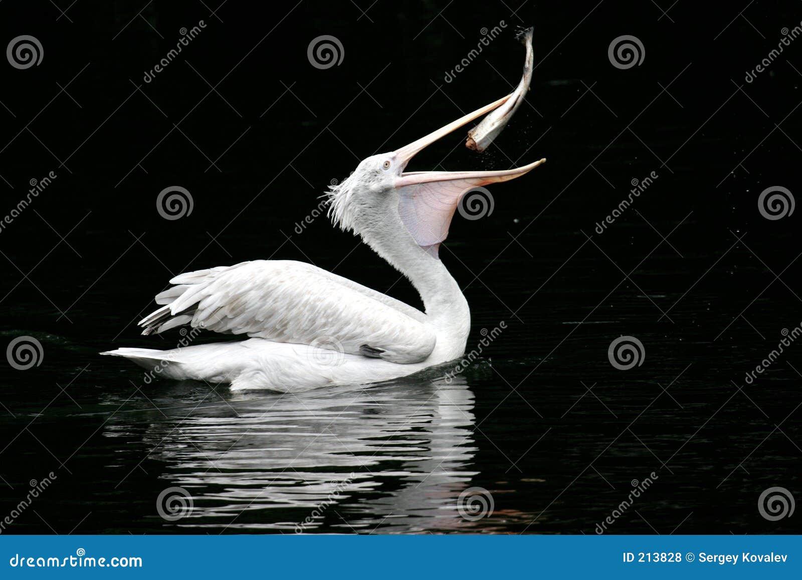 O Pelicano Distribuidora O Pelicano Engole Um P...