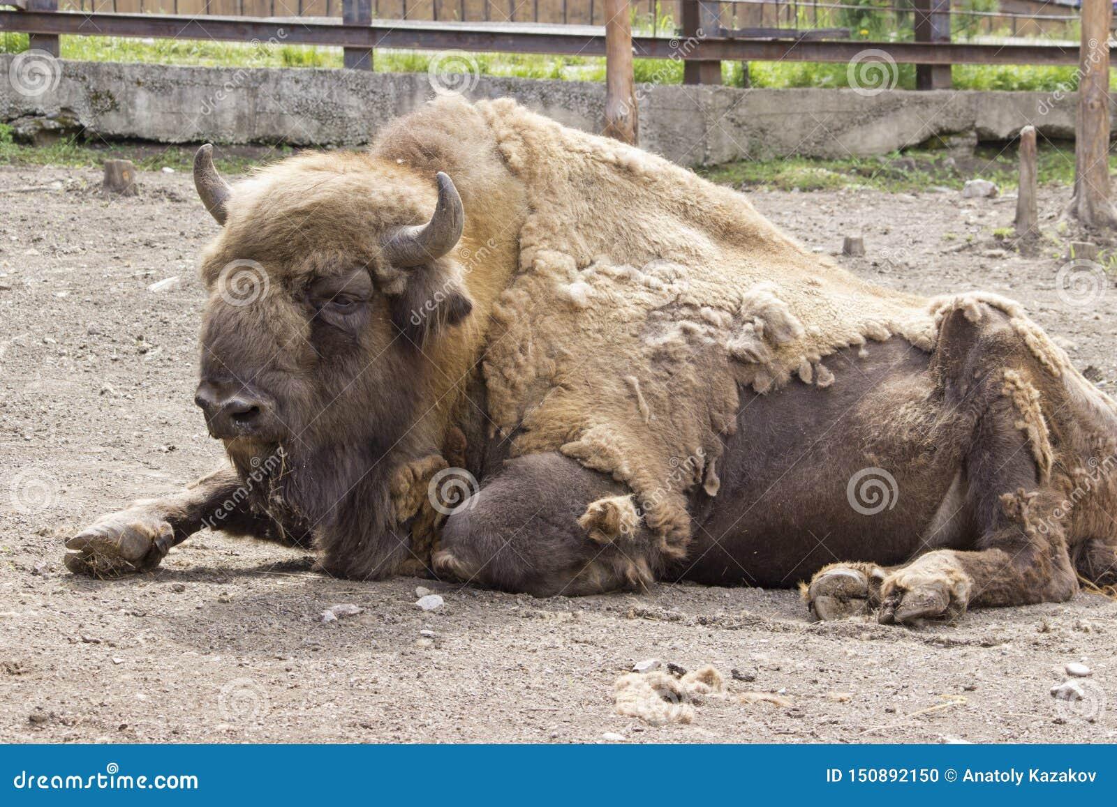 O perfil lateral de Bison Buffalo do americano