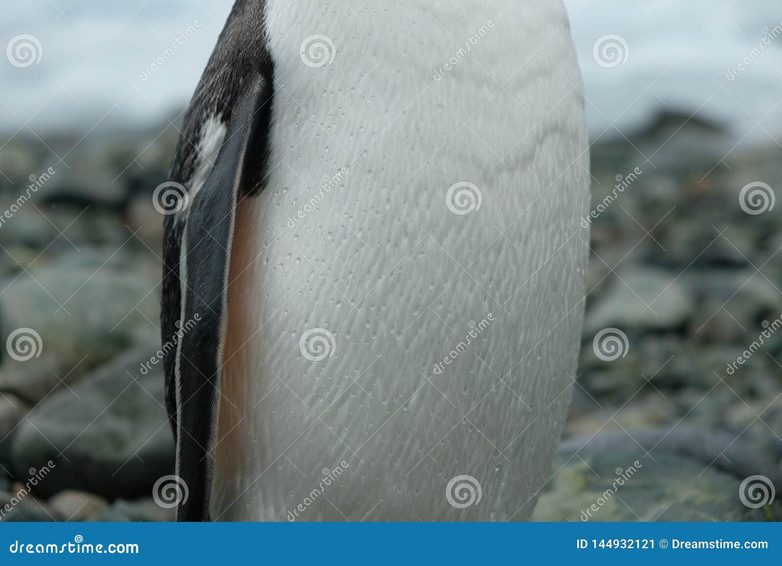 O pinguim da Antártica Gentoo está na praia rochosa com gotas da água em penas