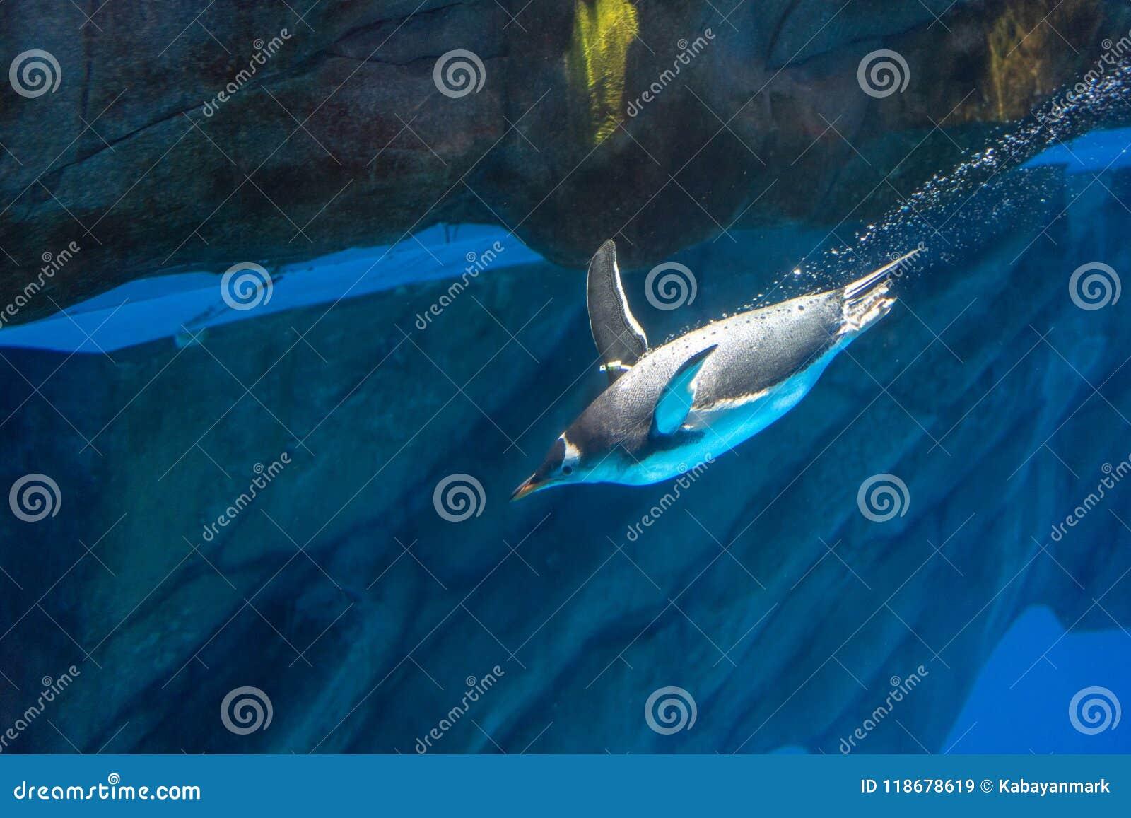 O pinguim do parque do oceano mergulha sob nadar da água brilhante