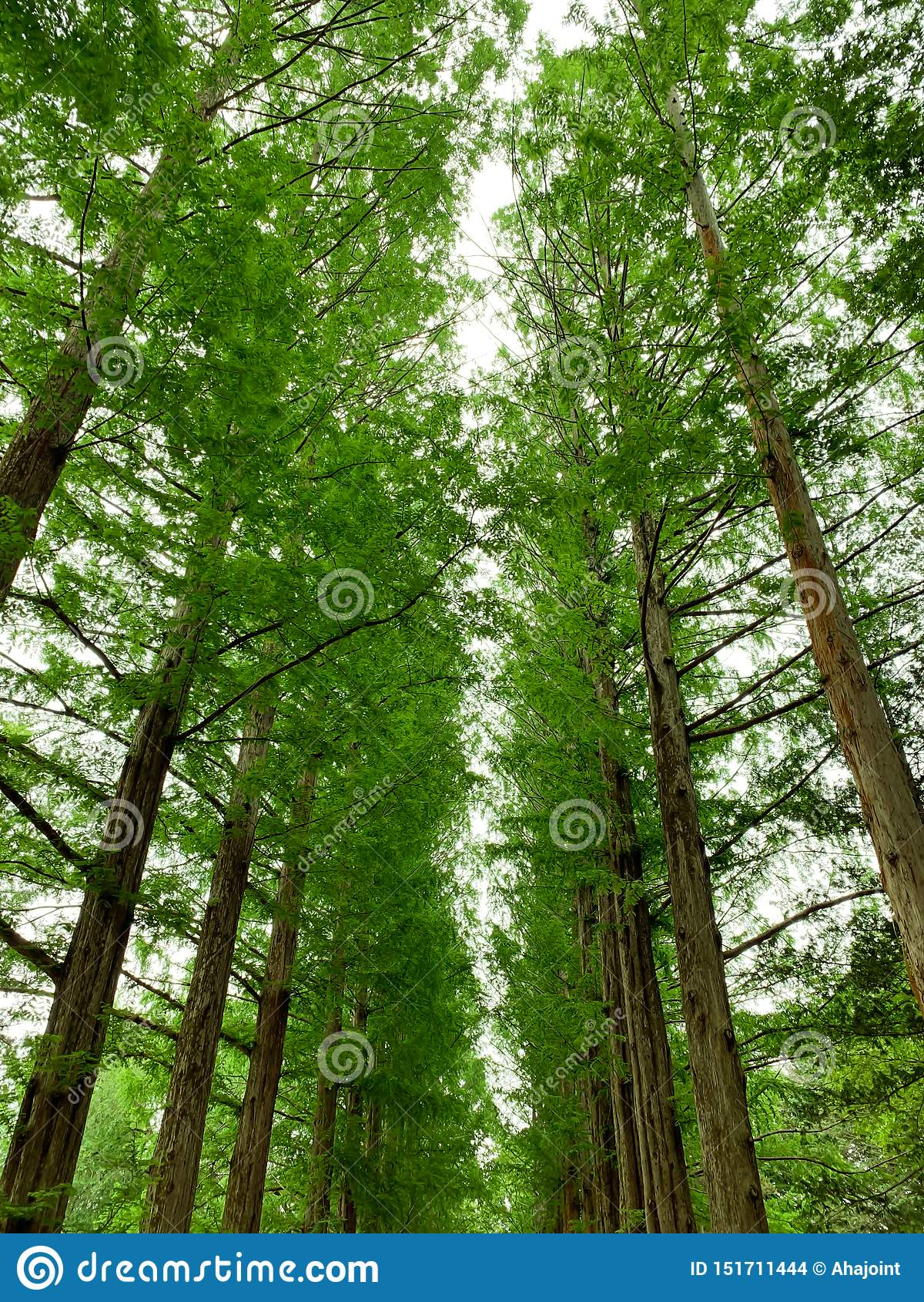 O pinheiro no fundo do parque