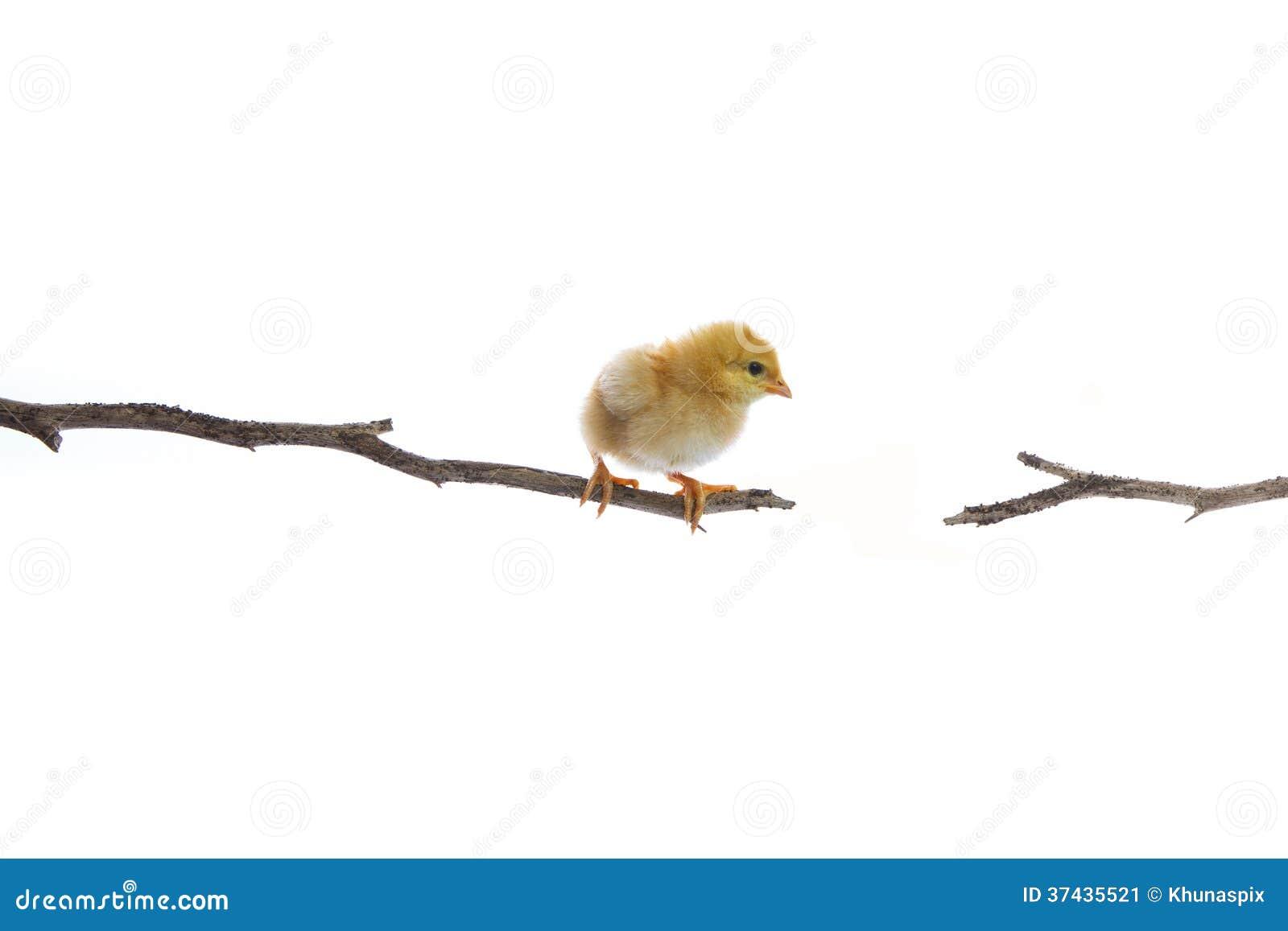 O pintainho recém-nascido na tentativa do ramo de árvore do dia a saltar a um outro lado isolou o fundo branco