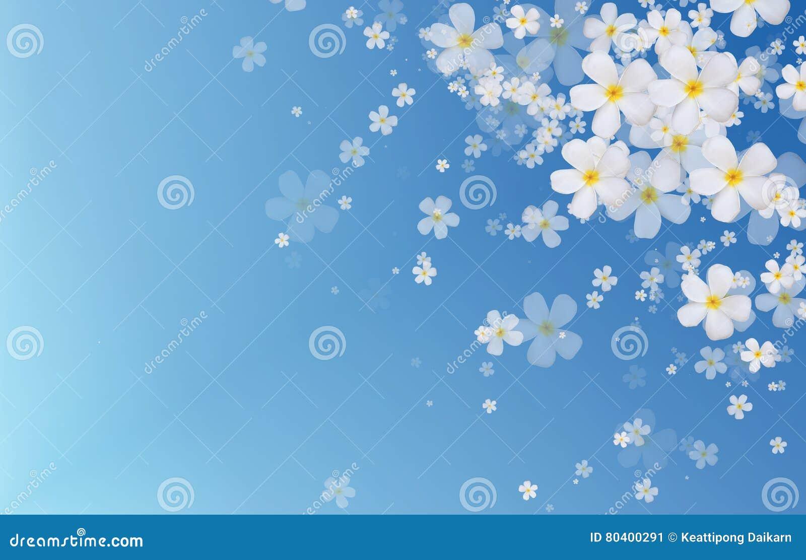 O Plumeria branco ou o Frangipani florescem no fundo azul da cor
