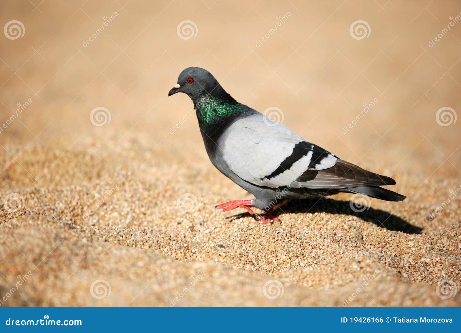 O pombo