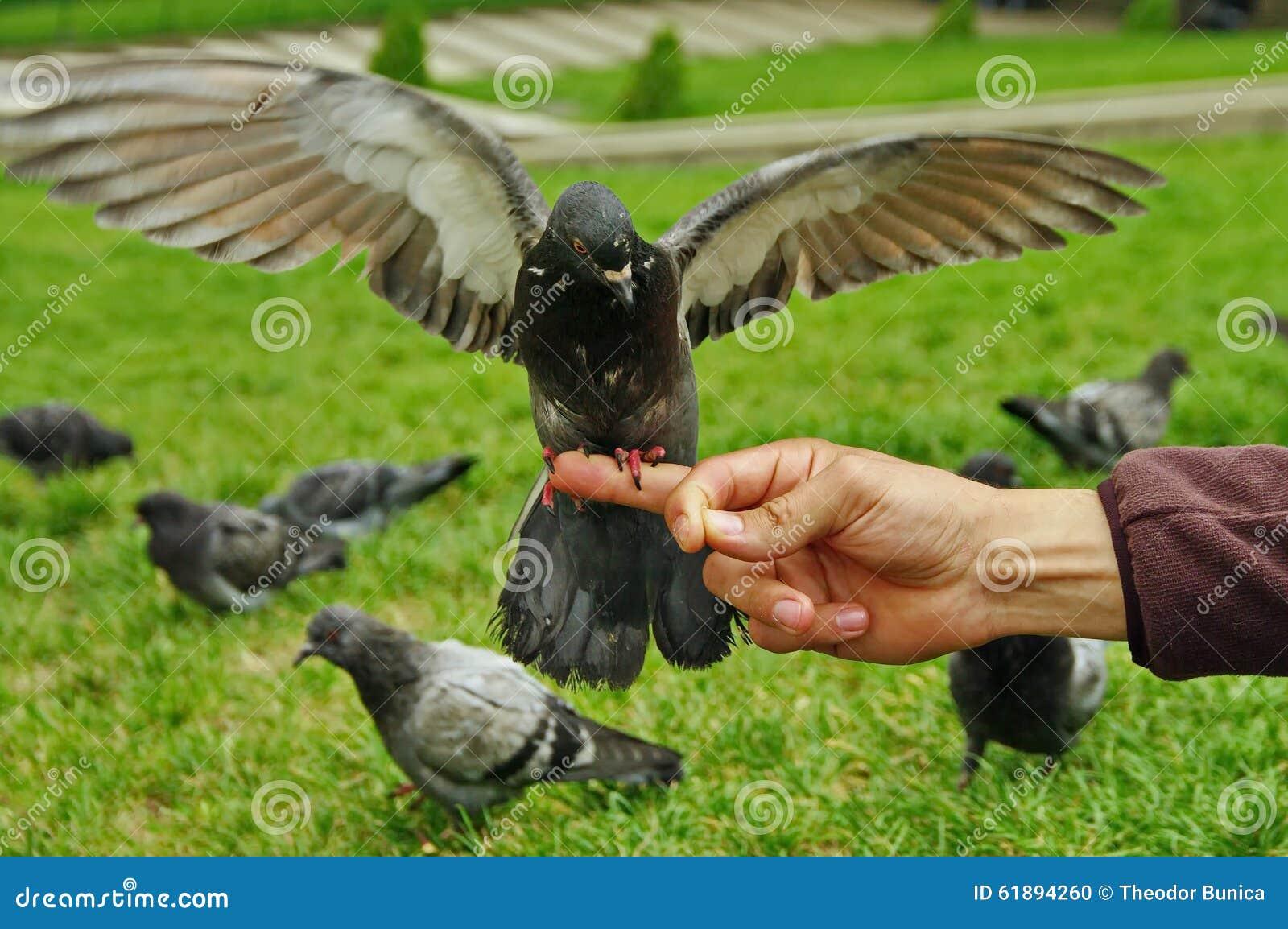 O pombo com as asas largas abre
