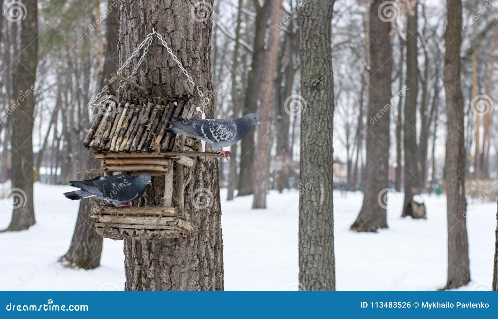 O pombo em uma calha de alimentação no inverno