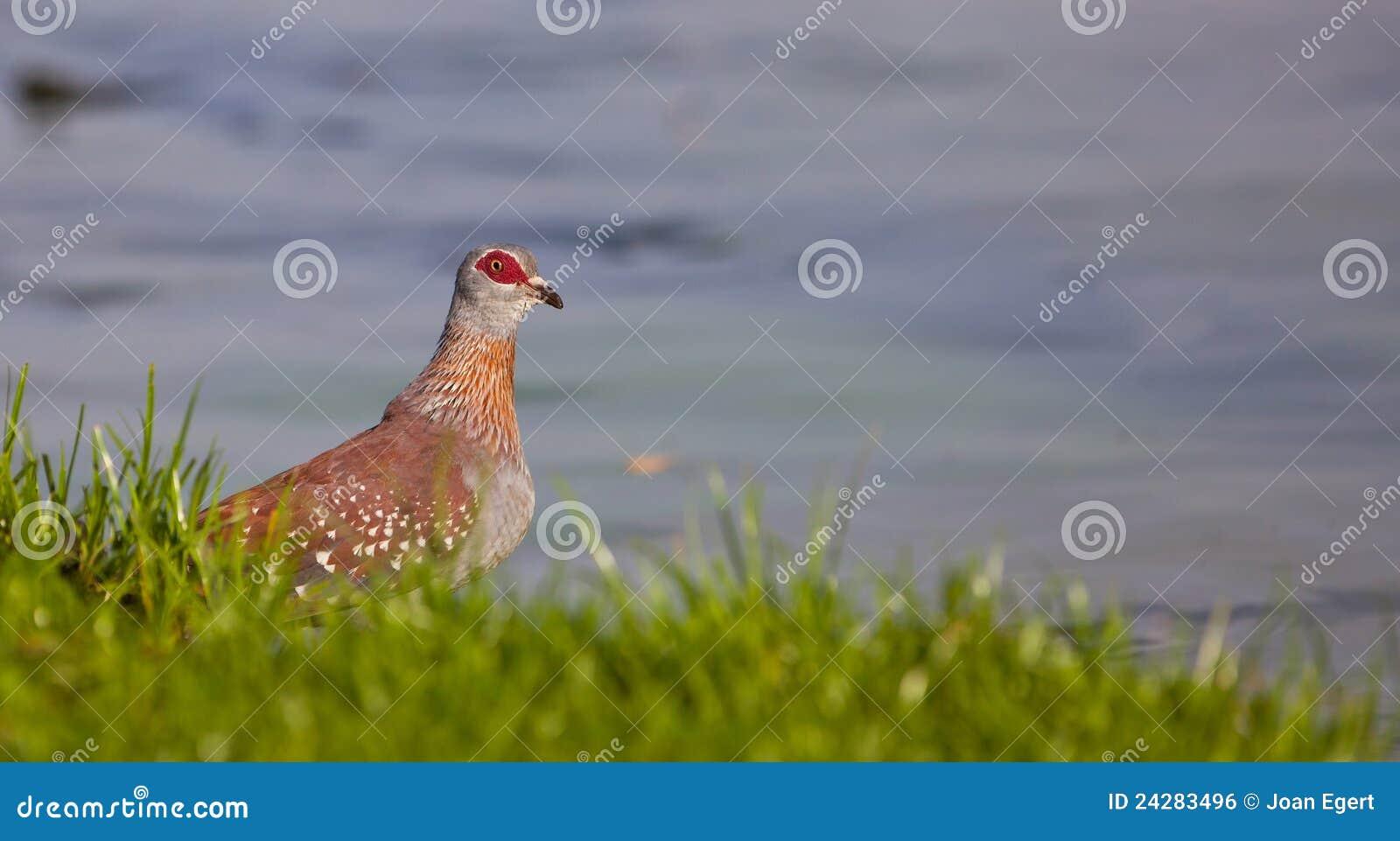 O pombo salpicado