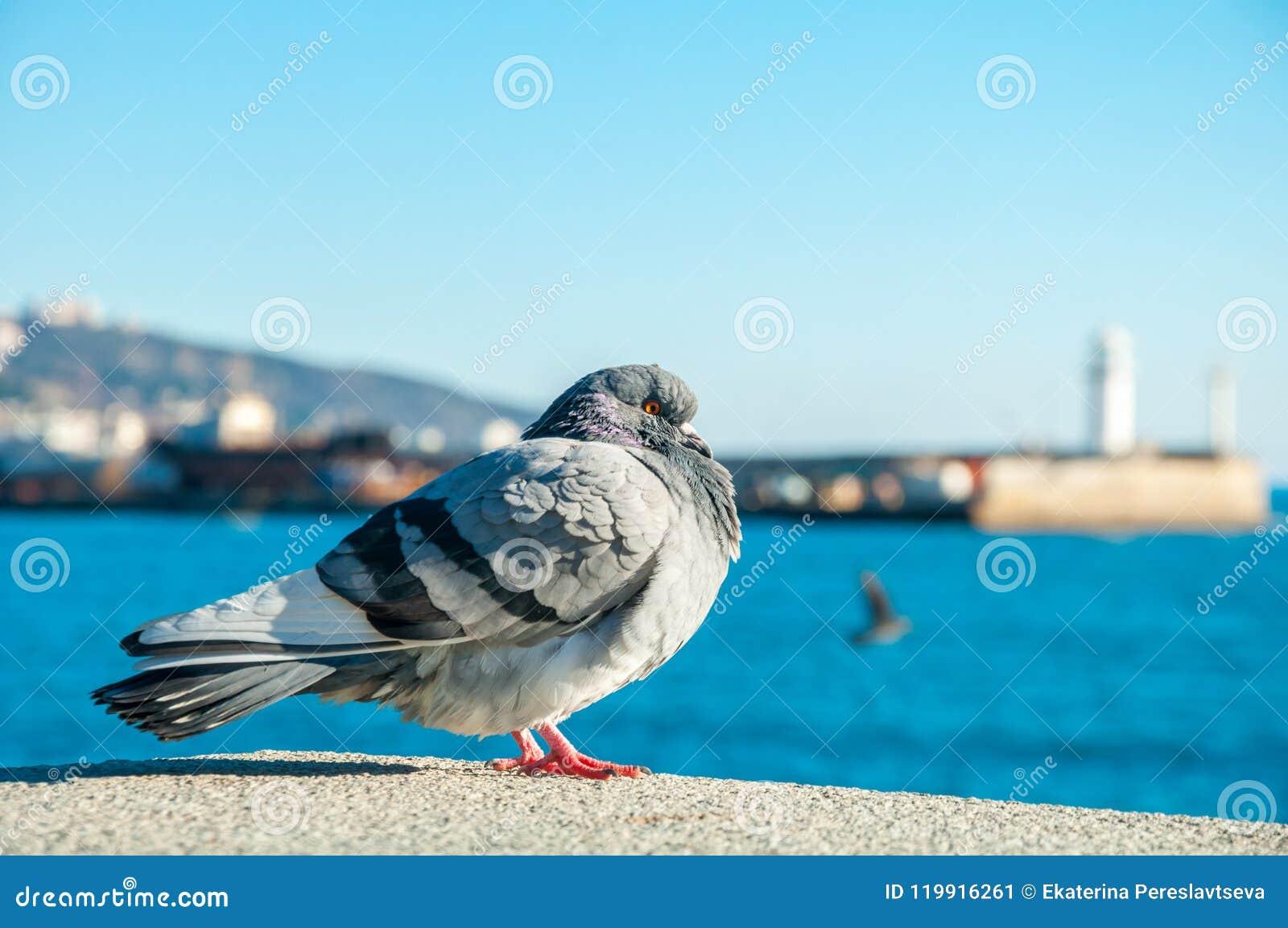 O pombo selvagem grande está com opinião do mar