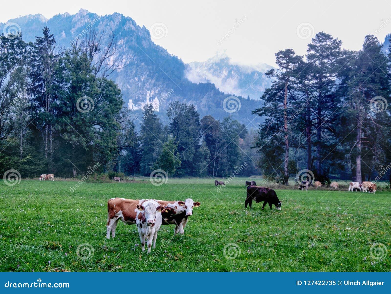 O prado alpino, pasto, o marrom branco manchou vacas com chifres, prado alpino, pasto, marrom branco vacas manchadas com chifres,