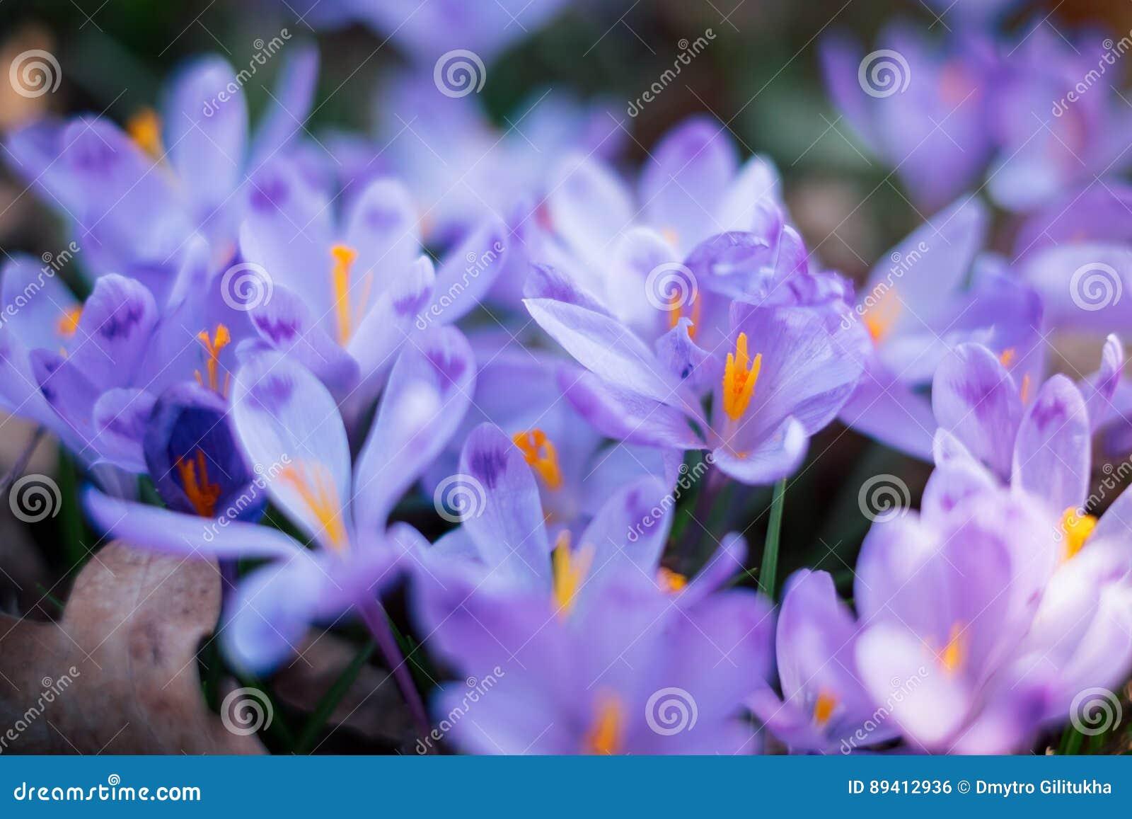 O prado do açafrão floresce na primavera a floresta