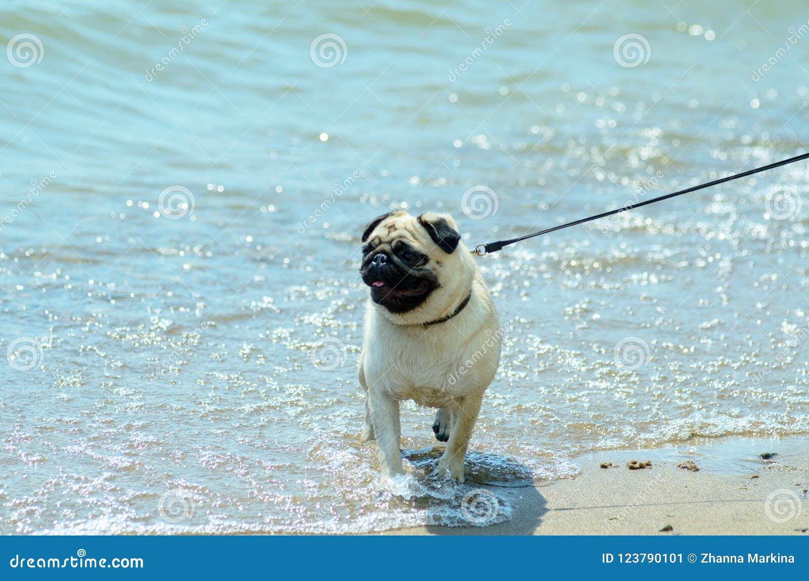 O pug do cão produz caminhadas na costa do oceano