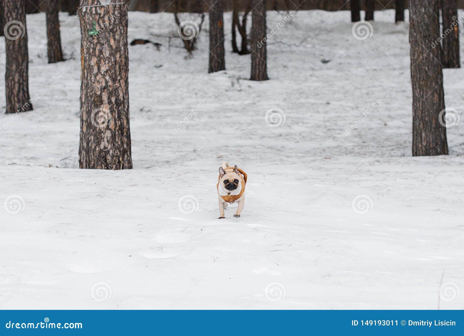 O Pug em um casaco de pele corre no inverno