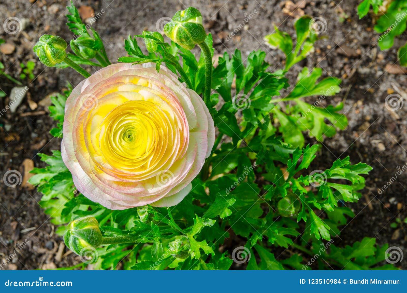 O ranúnculo bonito bonito ou o botão de ouro amarelo e cor-de-rosa florescem no parque centenário, Sydney, Austrália