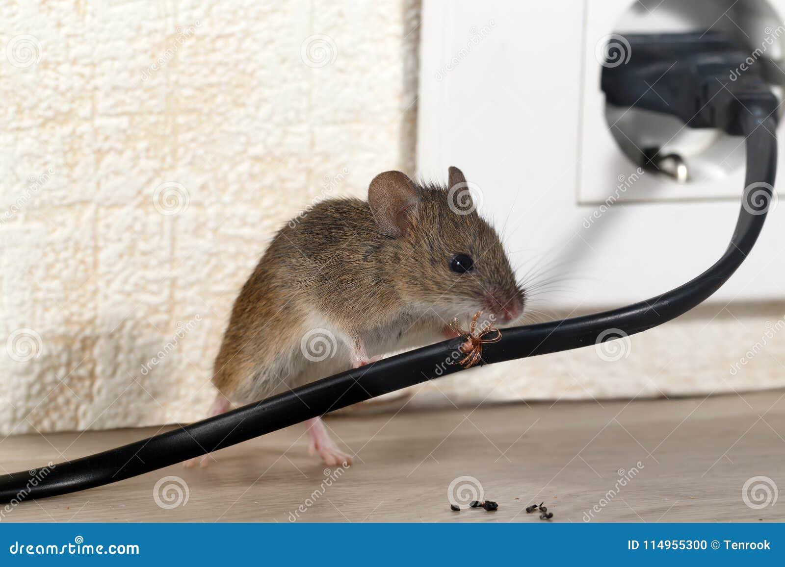 O rato do loseup do  de Ñ rói o fio em uma casa de apartamento no fundo da parede e da tomada elétrica