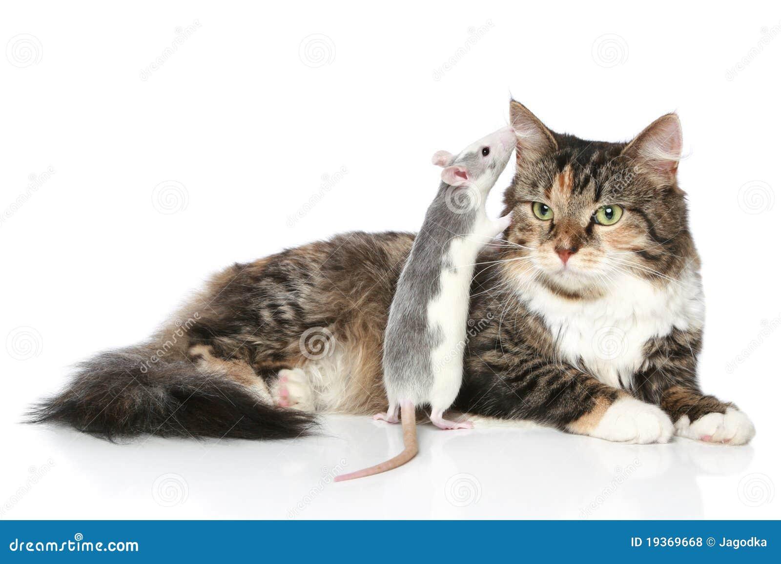 O rato sussurrou ao gato na orelha, que descansa