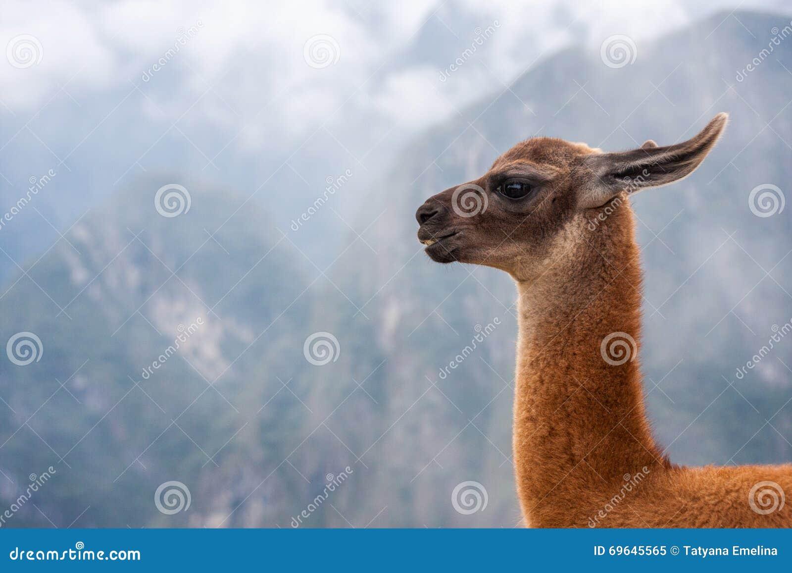 O retrato da Lama no fundo das montanhas no Peru