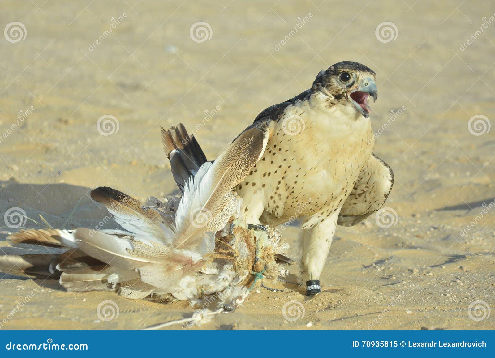 O retrato de um falcão domesticado do deserto catched o chamariz