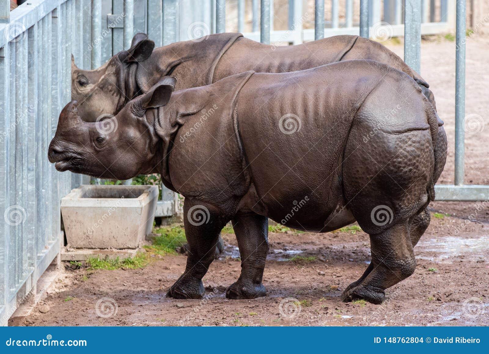 O rinoceronte indiano, corpo de posse como a armadura, sua pele é uma característica altamente distintiva
