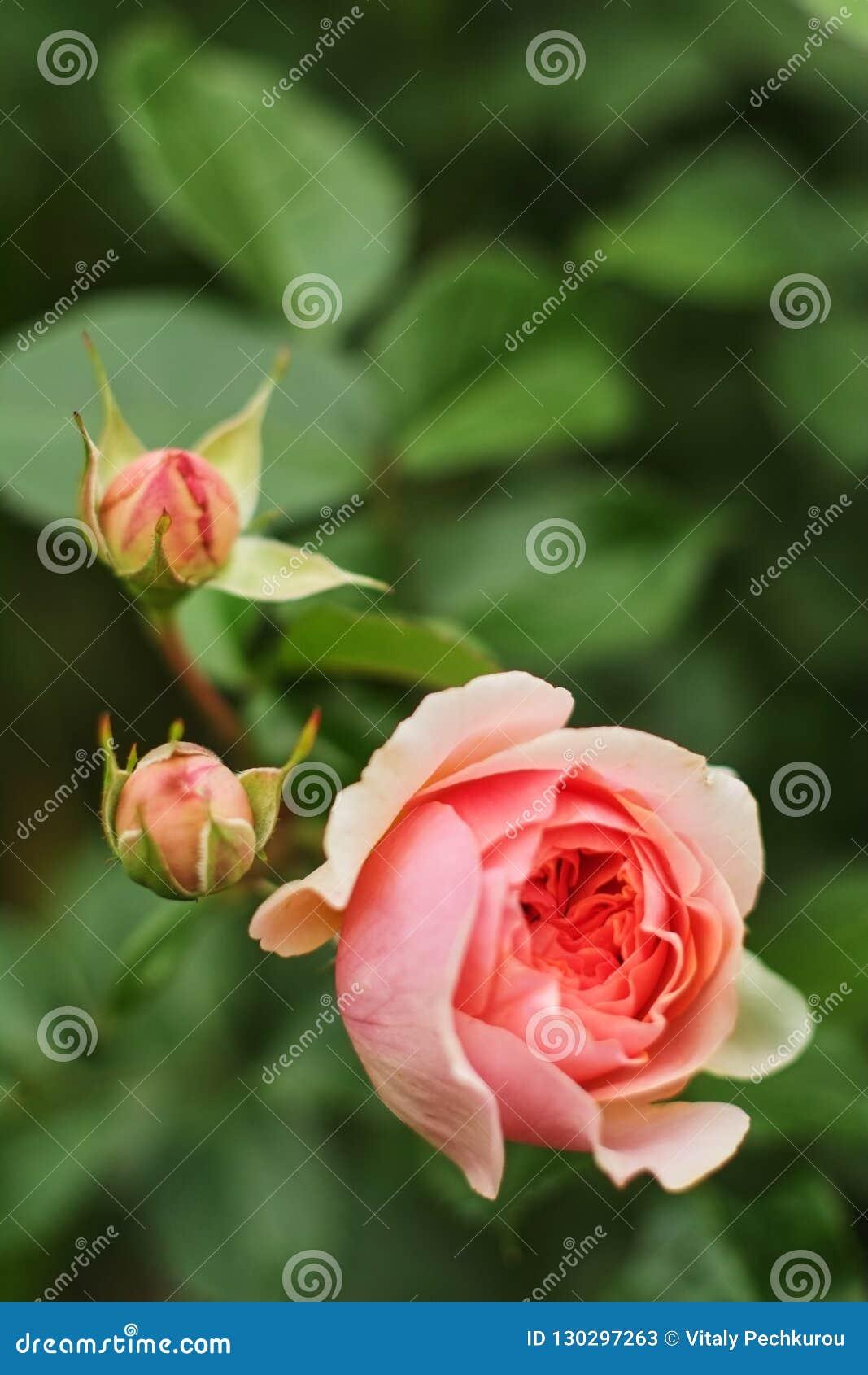 O rosa aumentou em um escuro obscuro - fundo frondoso verde