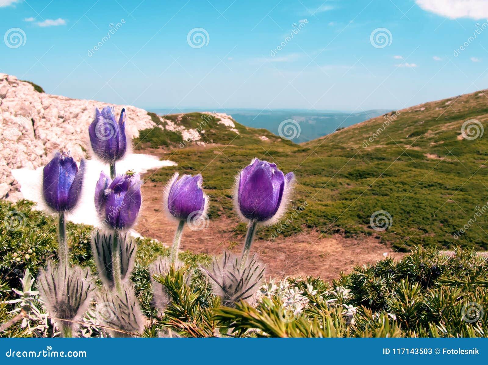 O roxo floresce patens do Pulsatilla nas montanhas