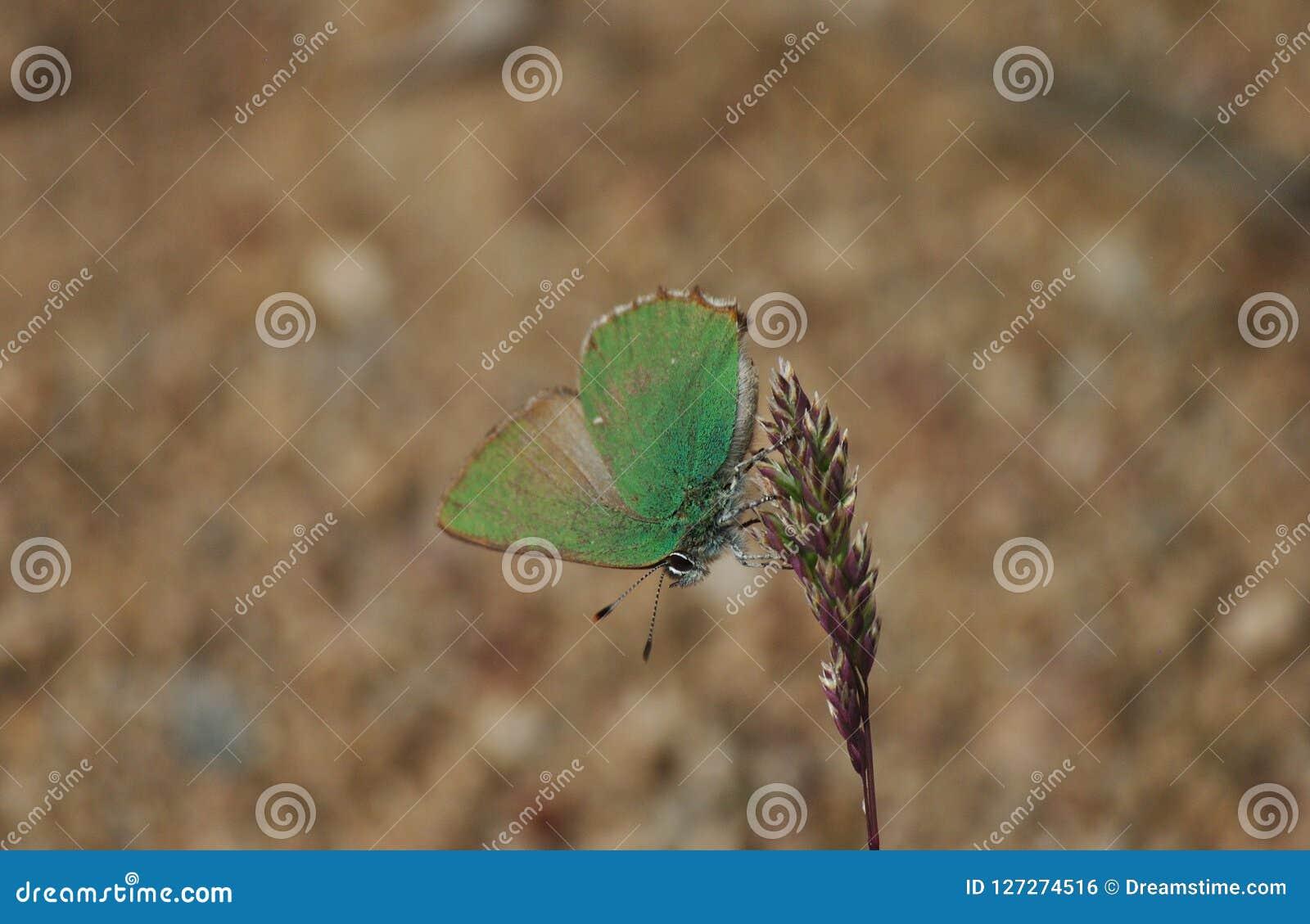 O rubi de Callophrys da borboleta do equilibrist
