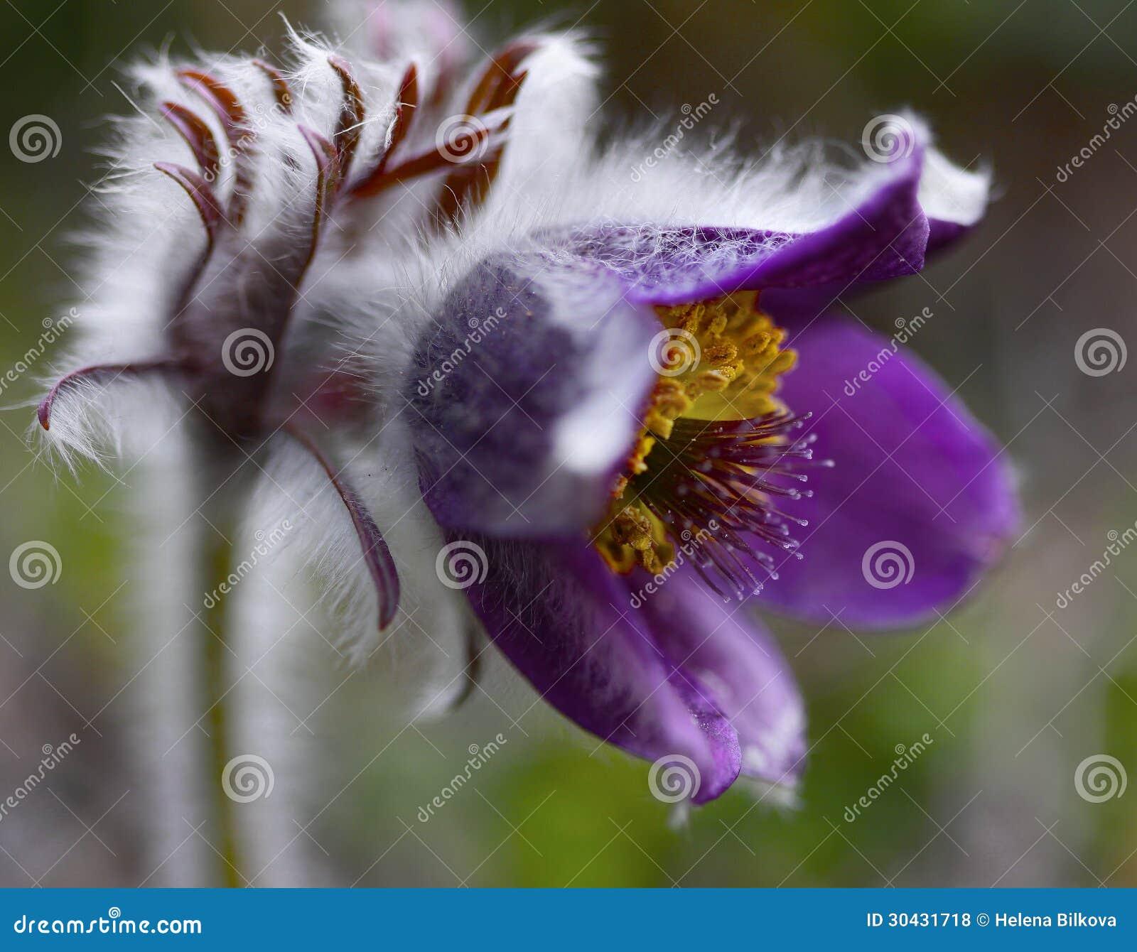 O símbolo raro Montana da natureza do Pulsatilla da flor da mola planta a beleza do close up