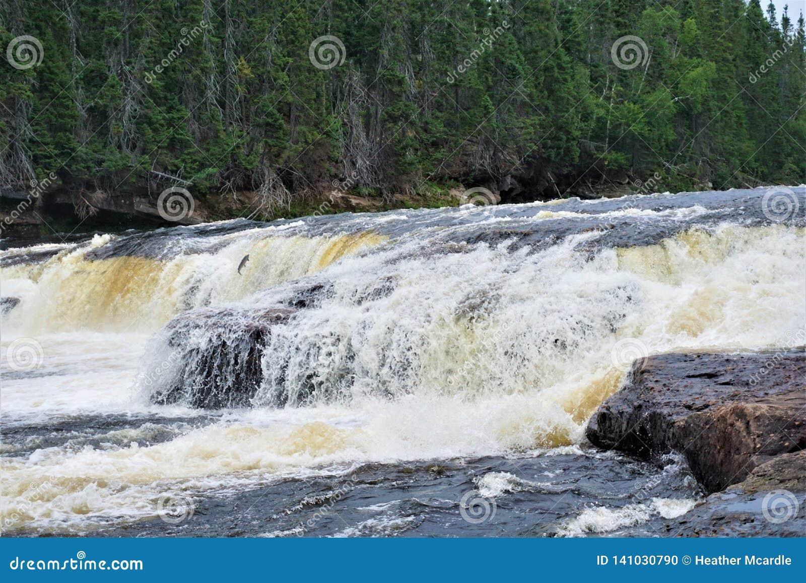 O salmão atlântico salta a cachoeira na região selvagem