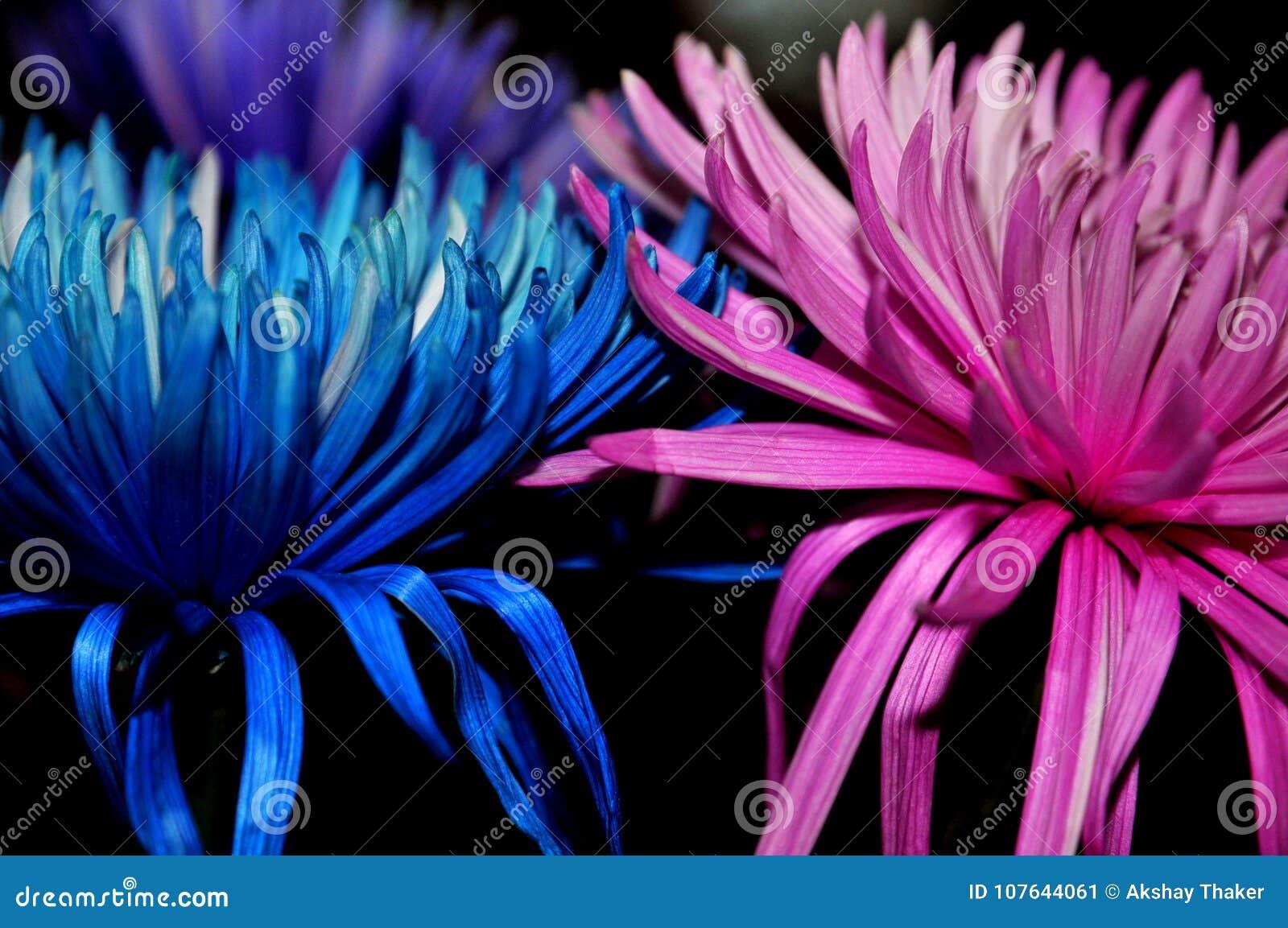 O ` seja delicado, amor e para ficar junto o ` azul e a flor cor-de-rosa mantida junto para criar uma imagem inspirada