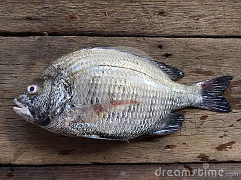 O sheepshead, o scup, e o seabream vermelho/preto, major do Pagrus