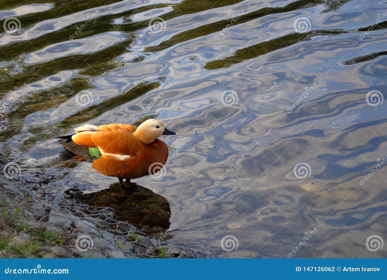 O shelduck corado na lagoa