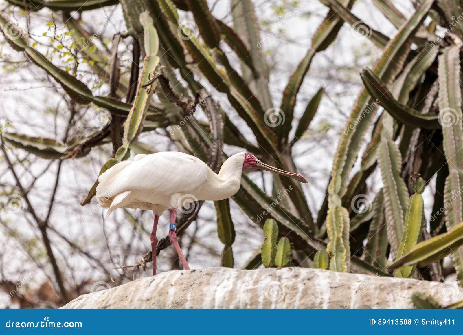O spoonbill africano chamou Platalea alba