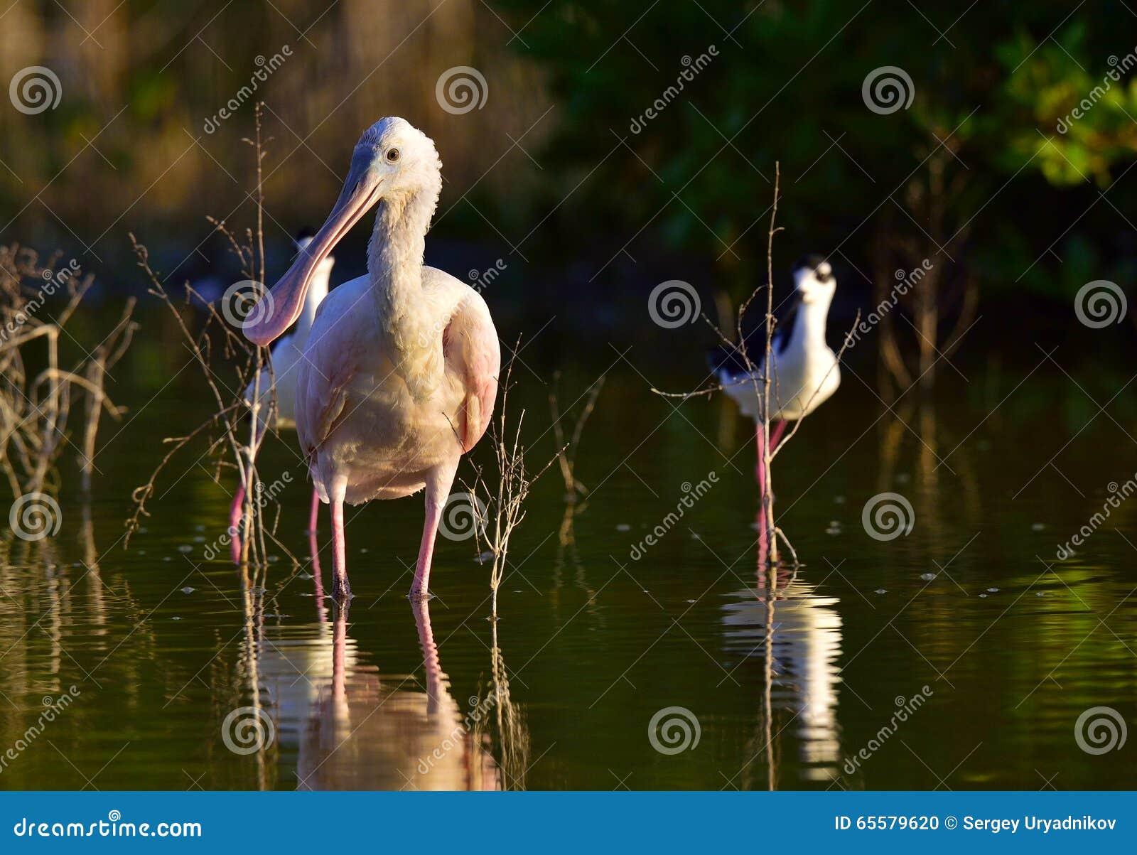 O Spoonbill róseo, ajaja do Platalea