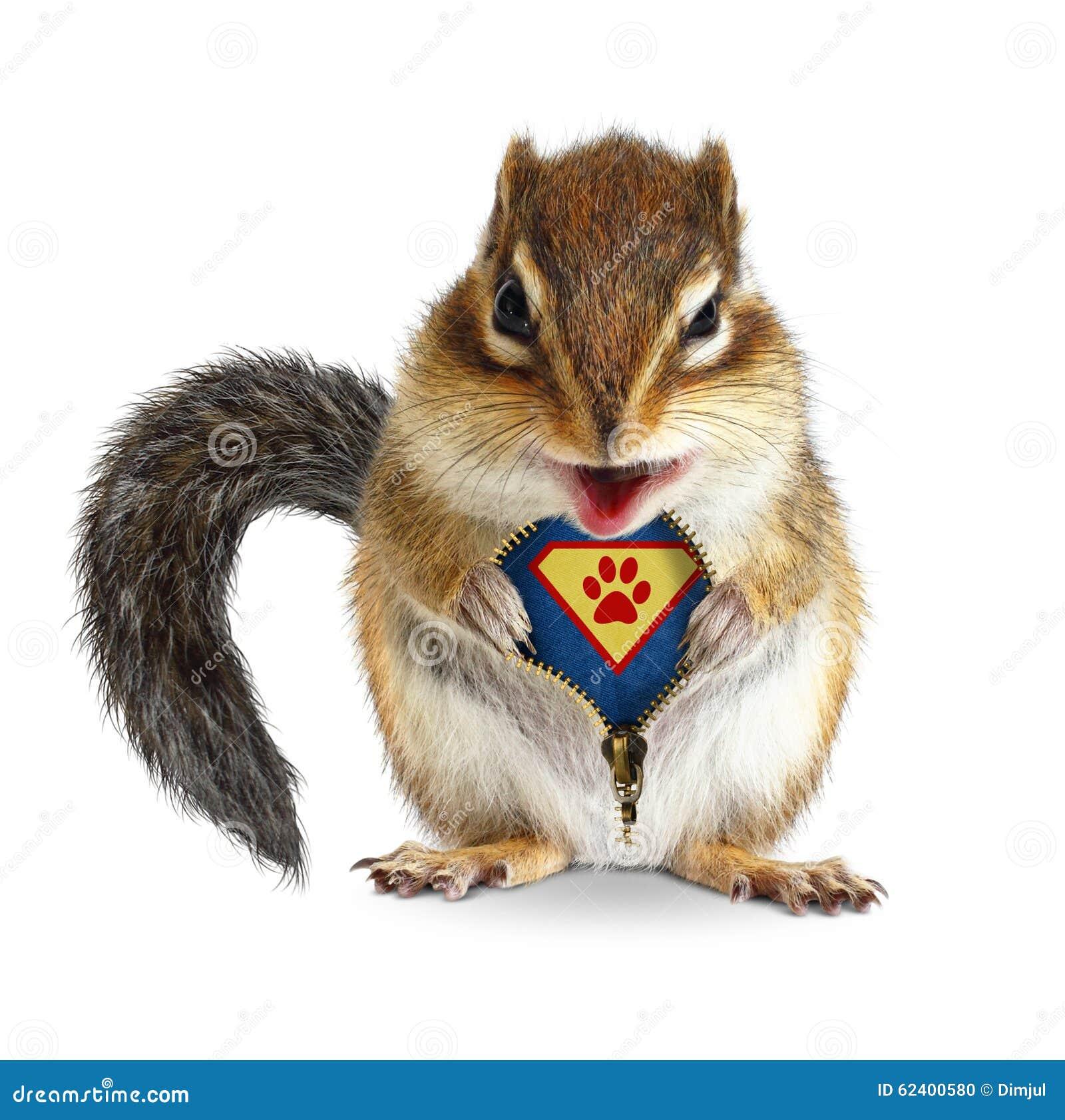 O super-herói animal engraçado, esquilo desafivela sua pele