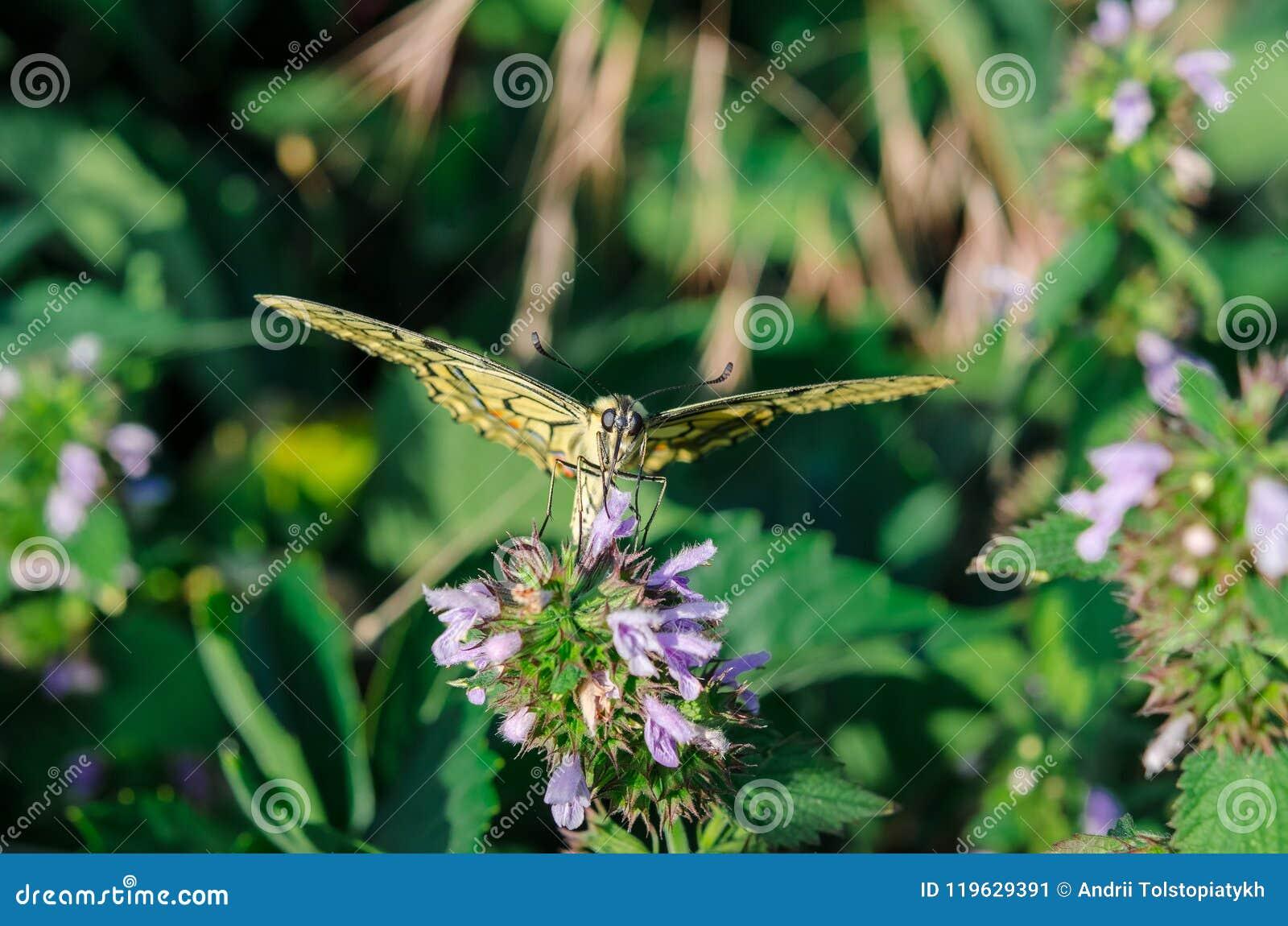 O swallowtail da borboleta senta-se com as asas abertas na flor