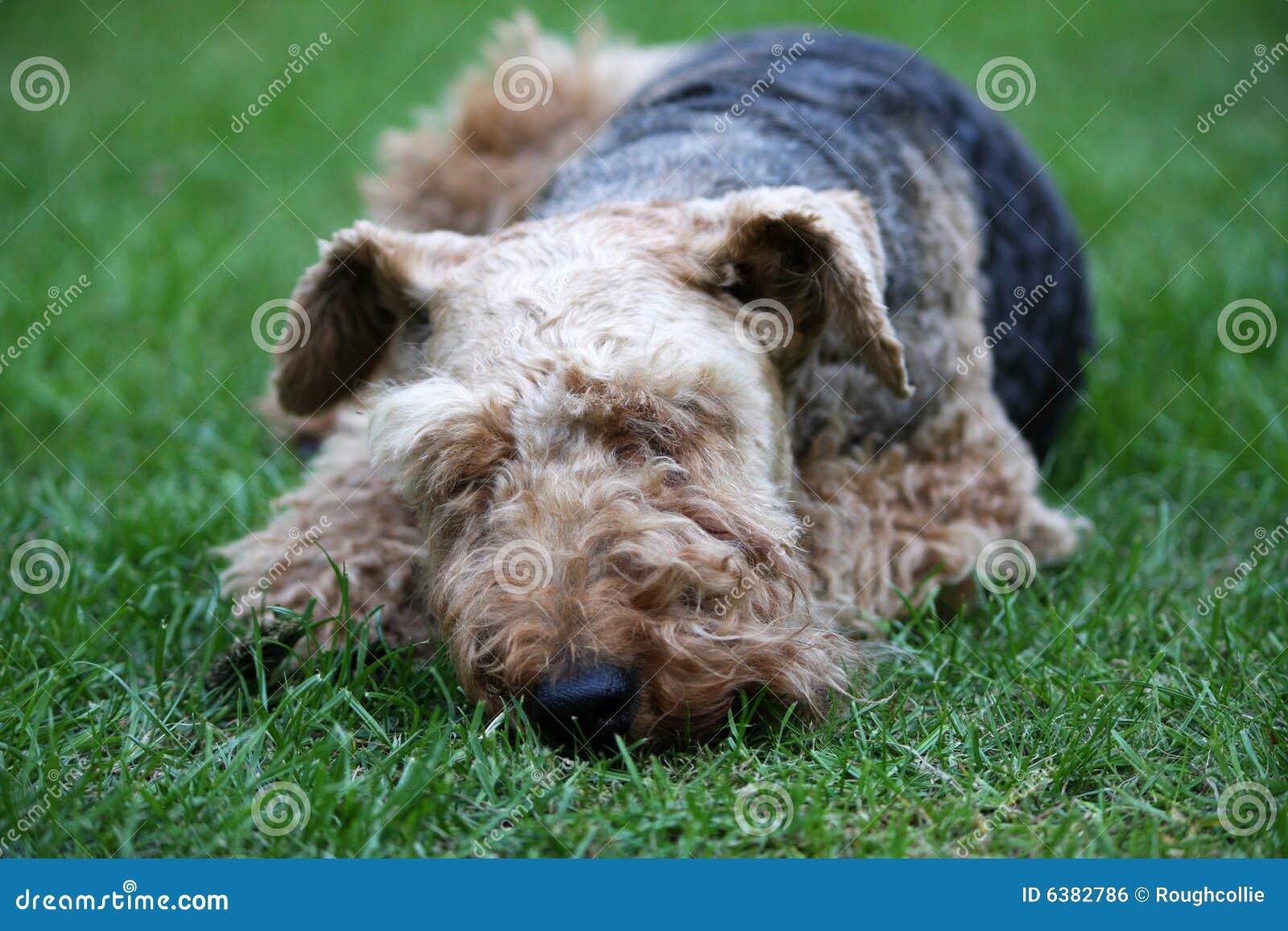 O terrier de galês jejua adormecido
