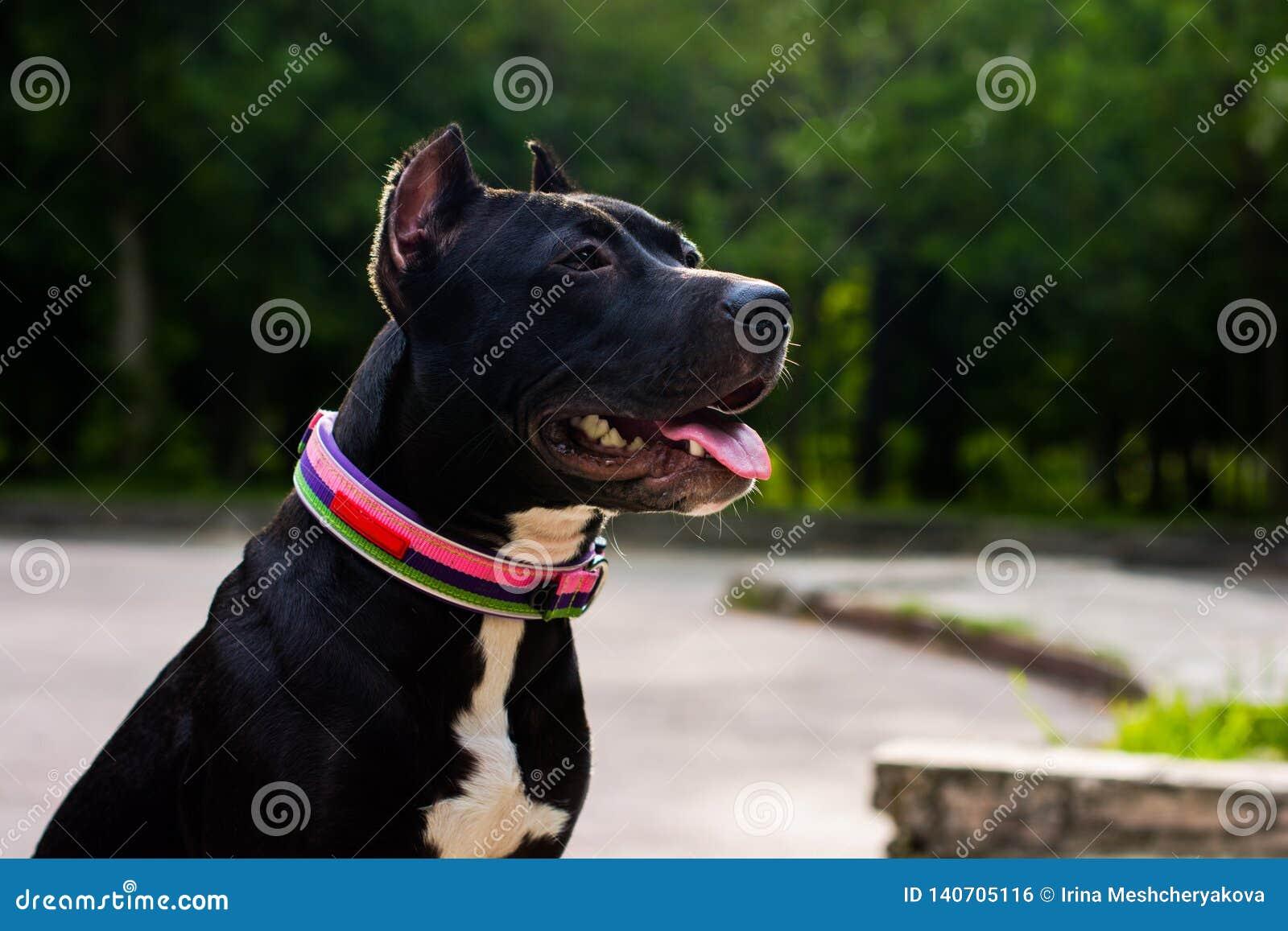 O terrier de pitbull americano preto e branco do retrato horizontal em um colar senta-se e sorri-se com a língua no parque